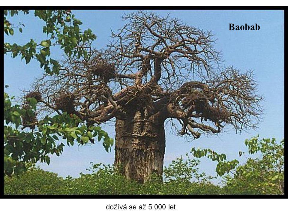 Baobab dožívá se až 5.000 let