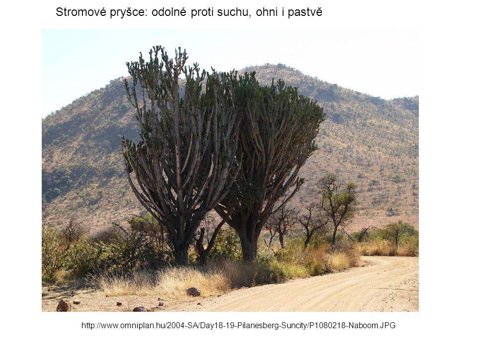 http://www.omniplan.hu/2004-SA/Day18-19-Pilanesberg-Suncity/P1080218-Naboom.JPG Stromové pryšce: odolné proti suchu, ohni i pastvě