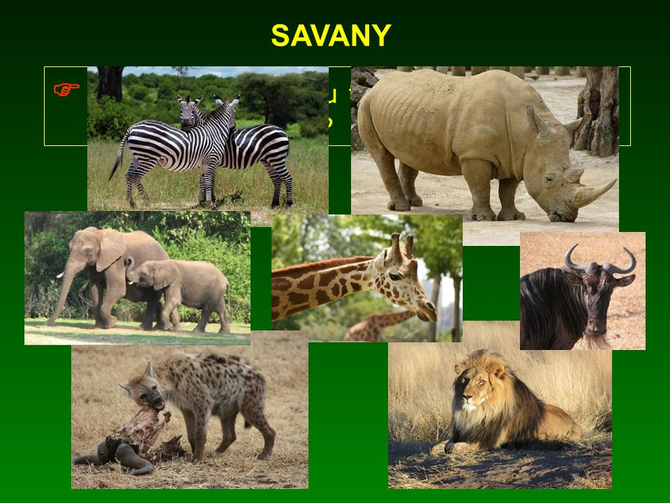  Jaká zvířata jsou typickými obyvateli afrických savan?
