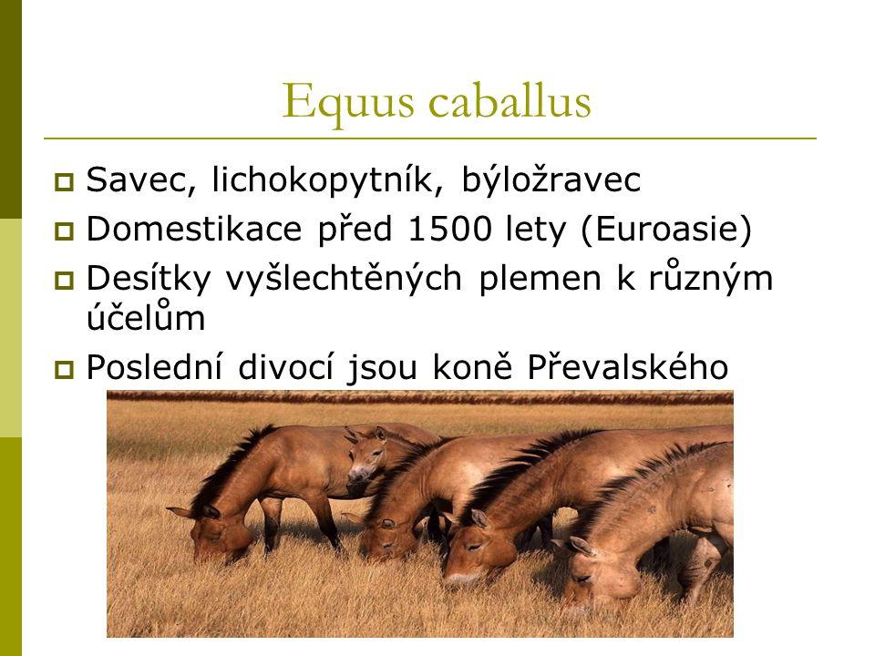 Equus caballus  Savec, lichokopytník, býložravec  Domestikace před 1500 lety (Euroasie)  Desítky vyšlechtěných plemen k různým účelům  Poslední divocí jsou koně Převalského