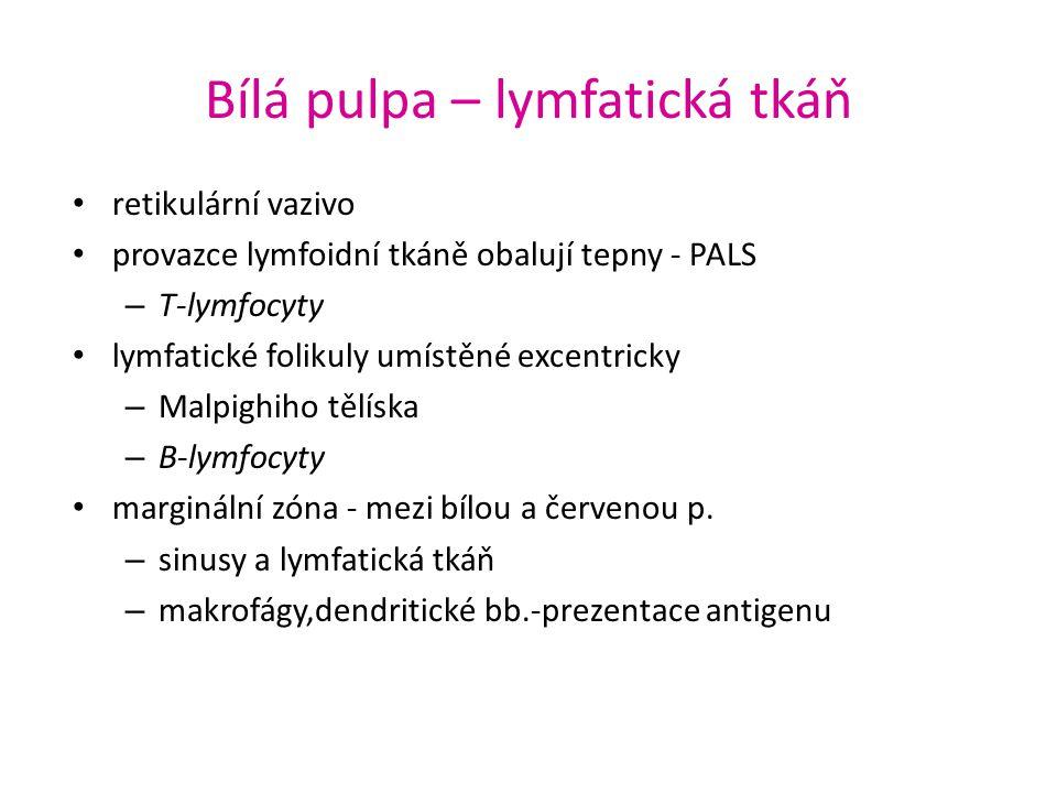 Bílá pulpa – lymfatická tkáň retikulární vazivo provazce lymfoidní tkáně obalují tepny - PALS – T-lymfocyty lymfatické folikuly umístěné excentricky –