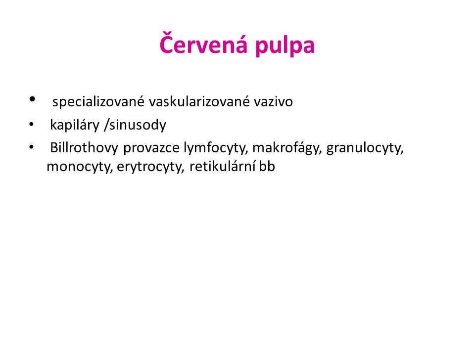 Červená pulpa specializované vaskularizované vazivo kapiláry /sinusody Billrothovy provazce lymfocyty, makrofágy, granulocyty, monocyty, erytrocyty, r