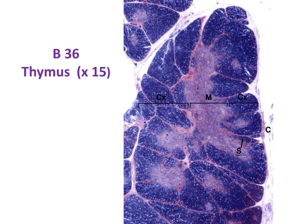 B 36 Thymus (x 15 )