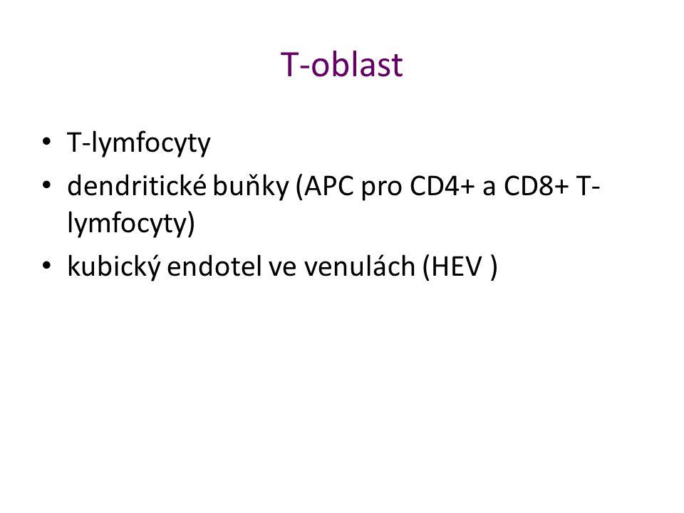 T-oblast T-lymfocyty dendritické buňky (APC pro CD4+ a CD8+ T- lymfocyty) kubický endotel ve venulách (HEV )