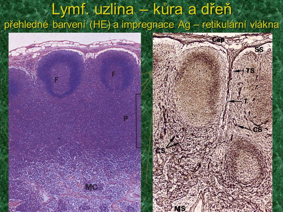 Lymf. uzlina – kůra a dřeň přehledné barvení (HE) a impregnace Ag – retikulární vlákna