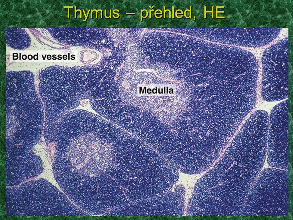Lymfocyty a epiteloretikulární buňky