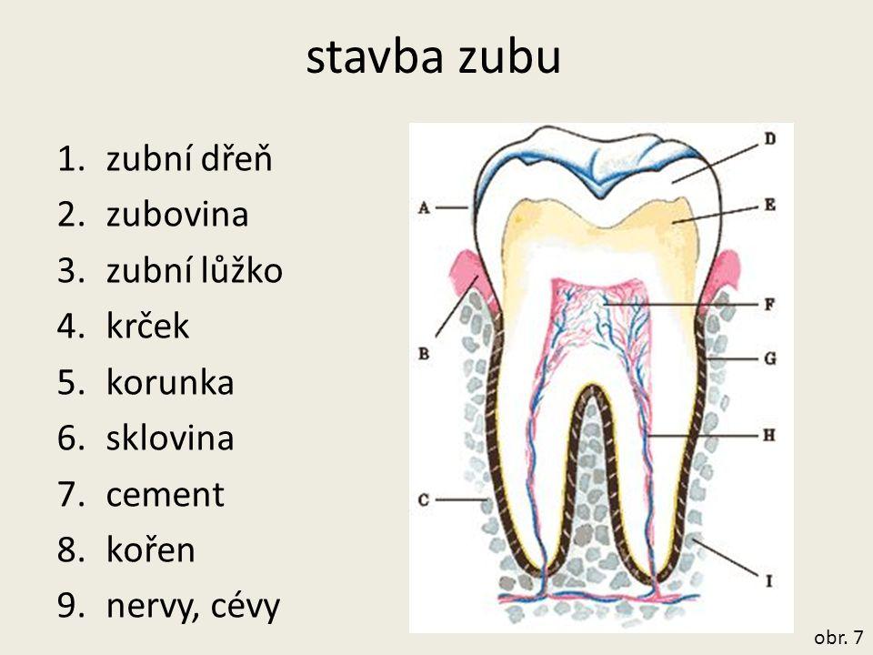 stavba zubu 1.zubní dřeň 2.zubovina 3.zubní lůžko 4.krček 5.korunka 6.sklovina 7.cement 8.kořen 9.nervy, cévy obr. 7