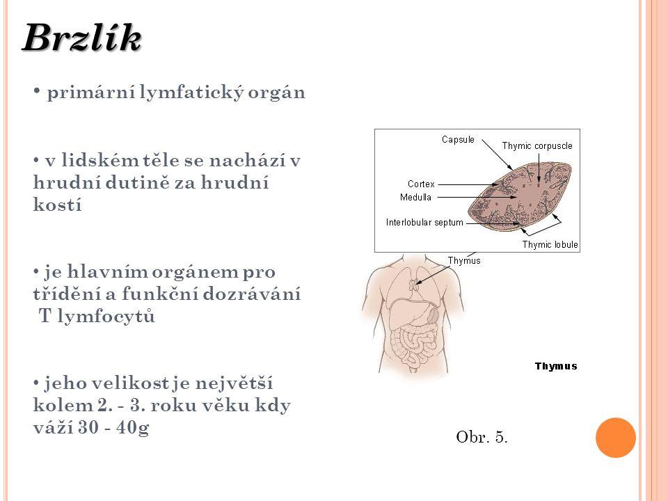 primární lymfatický orgán v lidském těle se nachází v hrudní dutině za hrudní kostí je hlavním orgánem pro třídění a funkční dozrávání T lymfocytů jeh