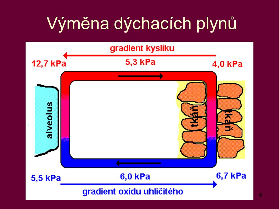 6 Výměna dýchacích plynů alveolus tkáň
