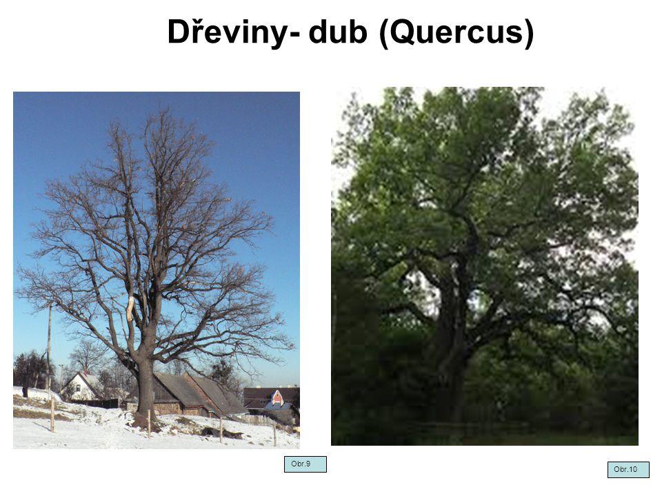 Dřeviny- dub (Quercus) Obr.9 Obr.10