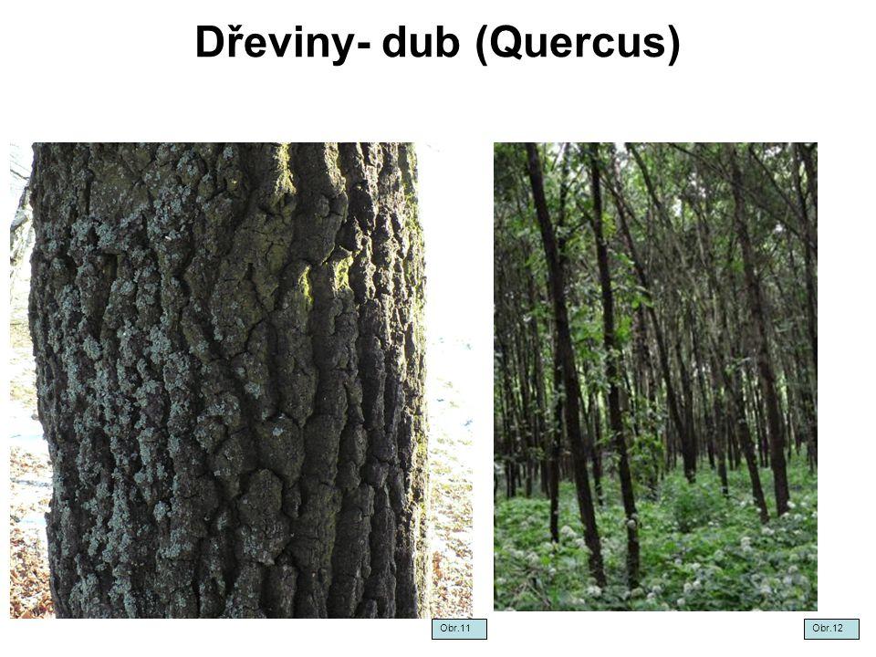 Dřeviny- dub (Quercus) Obr.11Obr.12