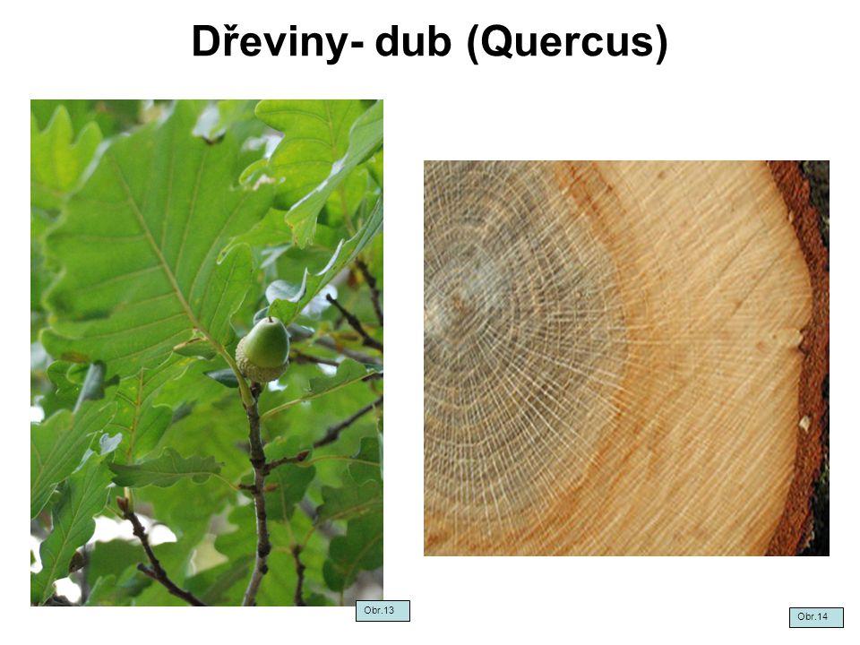 Dřeviny- dub (Quercus) Obr.14 Obr.13