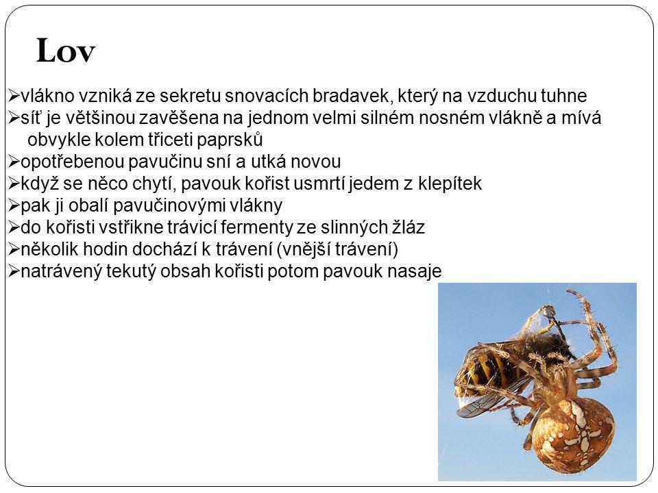  vlákno vzniká ze sekretu snovacích bradavek, který na vzduchu tuhne  síť je většinou zavěšena na jednom velmi silném nosném vlákně a mívá obvykle kolem třiceti paprsků  opotřebenou pavučinu sní a utká novou  když se něco chytí, pavouk kořist usmrtí jedem z klepítek  pak ji obalí pavučinovými vlákny  do kořisti vstřikne trávicí fermenty ze slinných žláz  několik hodin dochází k trávení (vnější trávení)  natrávený tekutý obsah kořisti potom pavouk nasaje Lov