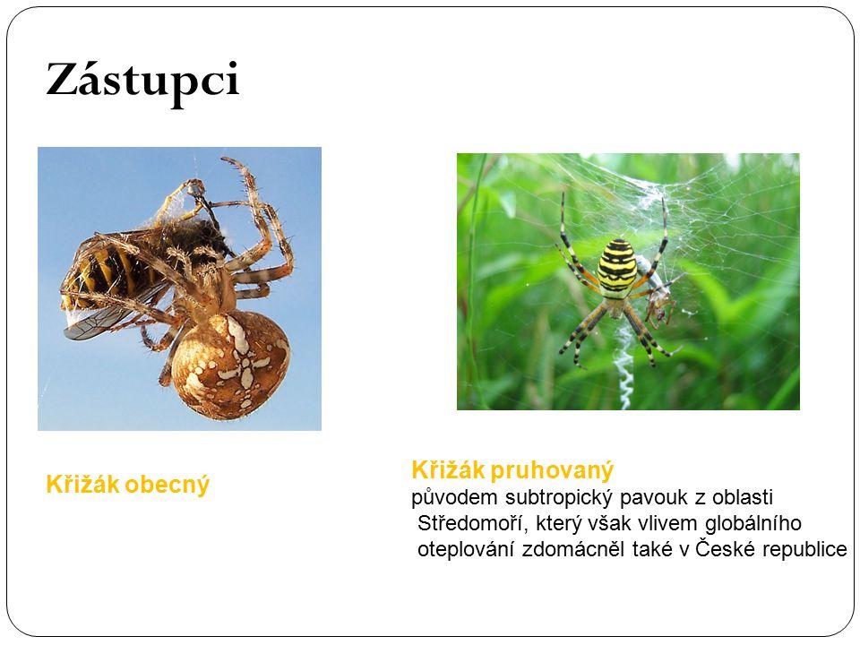 Zástupci Křižák obecný Křižák pruhovaný původem subtropický pavouk z oblasti Středomoří, který však vlivem globálního oteplování zdomácněl také v Česk