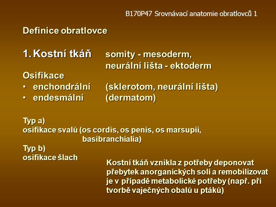 Definice obratlovce 1.Kostní tkáň somity - mesoderm, neurální lišta - ektoderm Osifikace enchondrální (sklerotom, neurální lišta)enchondrální (sklerotom, neurální lišta) endesmální(dermatom)endesmální(dermatom) Typ a) osifikace svalů (os cordis, os penis, os marsupii, basibranchialia) basibranchialia) Typ b) osifikace šlach Kostní tkáň vznikla z potřeby deponovat přebytek anorganických solí a remobilizovat je v případě metabolické potřeby (např.