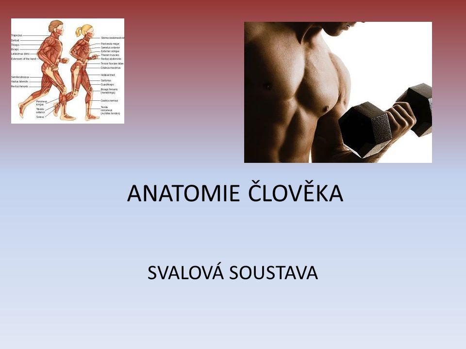 ÚVOD, FUNKCE SS spolu s KS tvoří pohybovou soustava Základní jednotka – SVAL 600 svalů v těle Tvoří 40% hmotnosti těla Upínají se ke kostře Funkce: aktivní pohyb (pohyb orgánů + kostry)