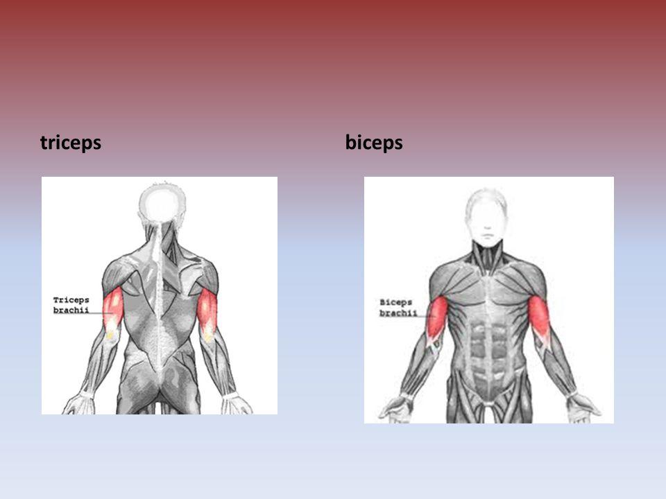 tricepsbiceps
