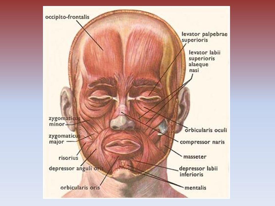 Svaly krku Zdvihač hlavy – udržuje hlavu ve zpřímené poloze