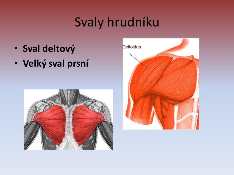 Svaly hrudníku Sval deltový Velký sval prsní