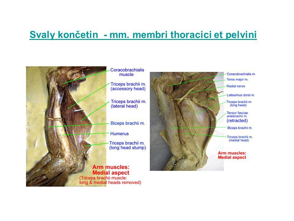 Svaly karpálního kloubu m.extensor carpi radialis m.