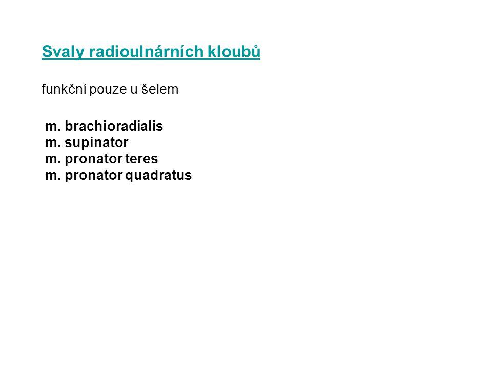 Svaly radioulnárních kloubů funkční pouze u šelem m. brachioradialis m. supinator m. pronator teres m. pronator quadratus