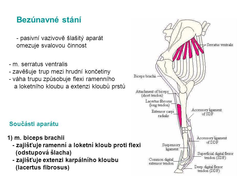 Bezúnavné stání - pasivní vazivově šlašitý aparát omezuje svalovou činnost - m. serratus ventralis - zavěšuje trup mezi hrudní končetiny - váha trupu