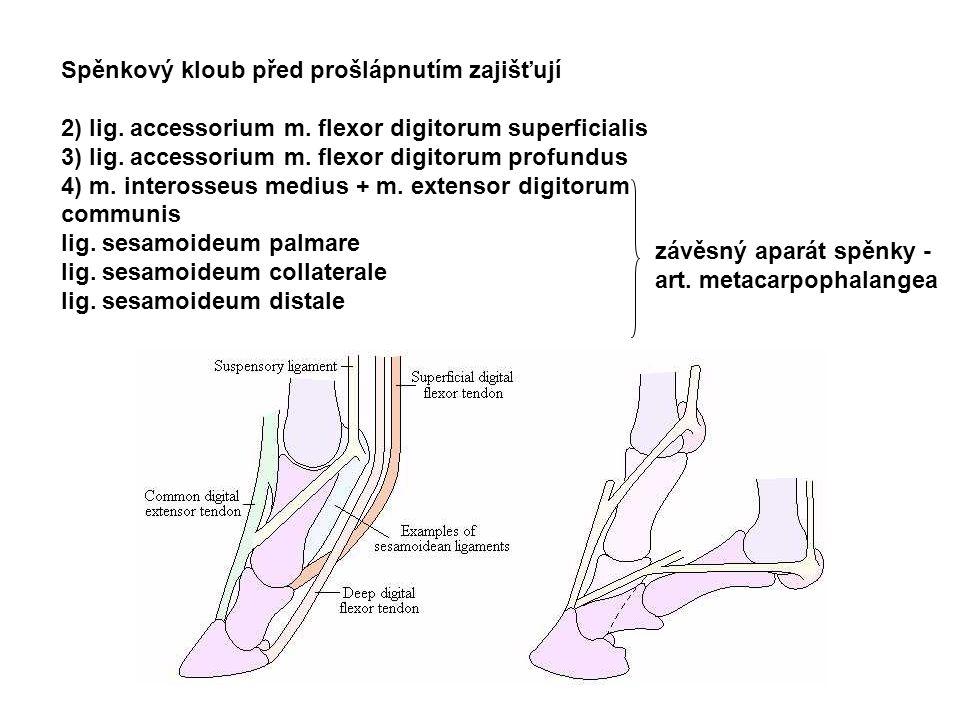 Spěnkový kloub před prošlápnutím zajišťují 2) lig. accessorium m. flexor digitorum superficialis 3) lig. accessorium m. flexor digitorum profundus 4)