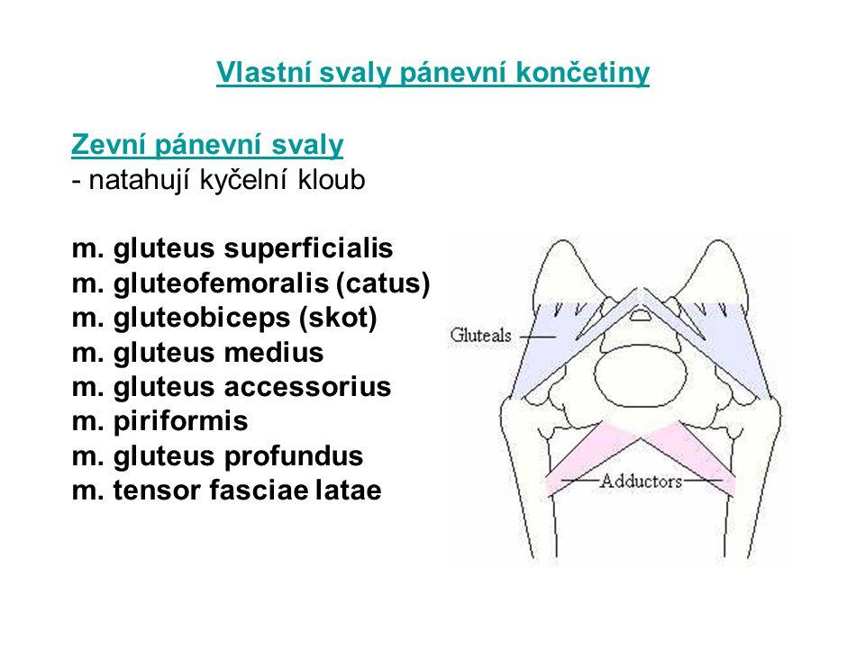Vlastní svaly pánevní končetiny Zevní pánevní svaly - natahují kyčelní kloub m. gluteus superficialis m. gluteofemoralis (catus) m. gluteobiceps (skot
