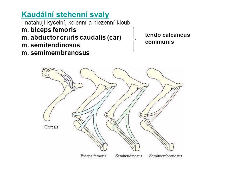 Kaudální stehenní svaly - natahují kyčelní, kolenní a hlezenní kloub m. biceps femoris m. abductor cruris caudalis (car) m. semitendinosus m. semimemb