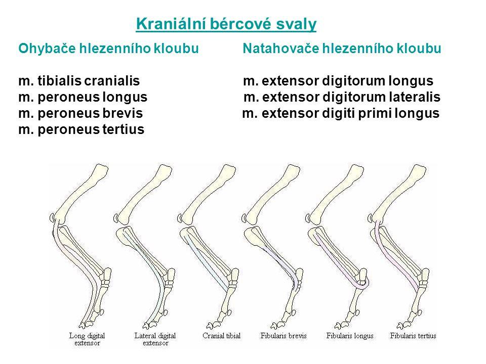 Ohybače hlezenního kloubu Natahovače hlezenního kloubu m. tibialis cranialis m. extensor digitorum longus m. peroneus longus m. extensor digitorum lat