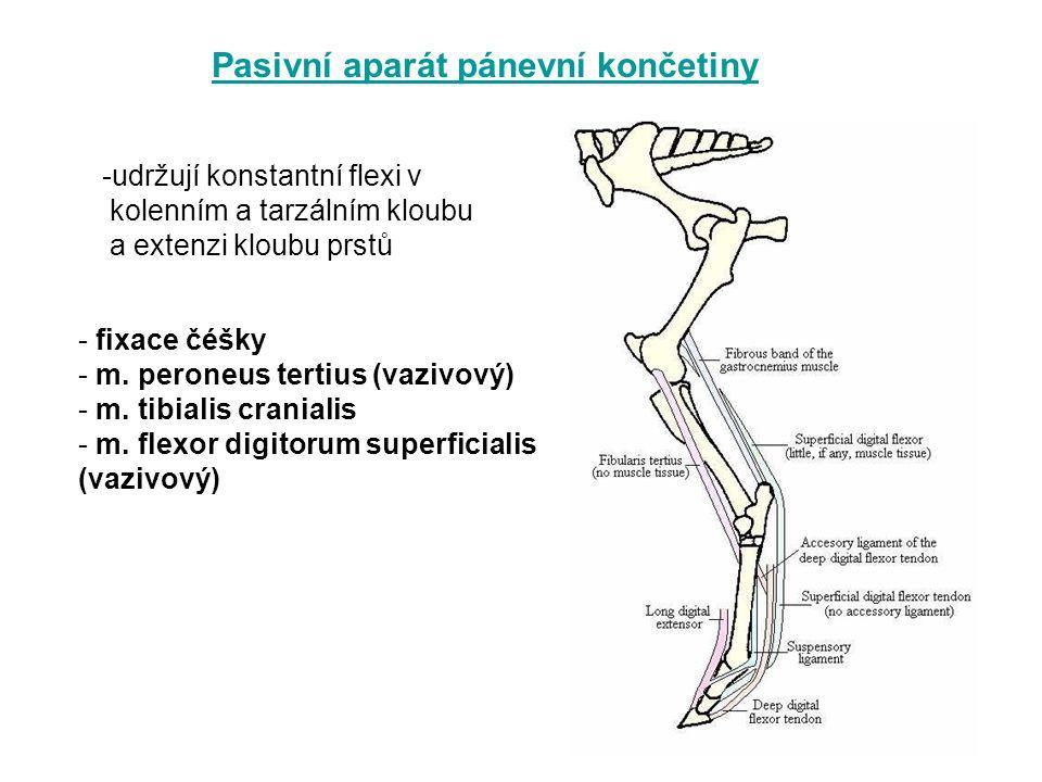 Pasivní aparát pánevní končetiny -udržují konstantní flexi v kolenním a tarzálním kloubu a extenzi kloubu prstů - fixace čéšky - m. peroneus tertius (