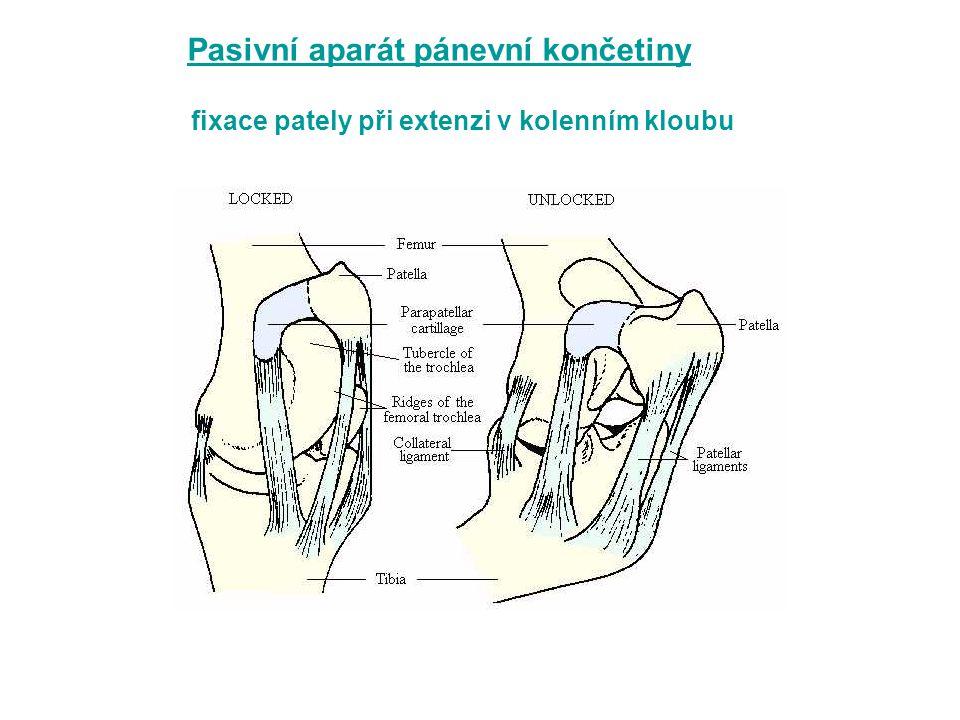 fixace pately při extenzi v kolenním kloubu Pasivní aparát pánevní končetiny