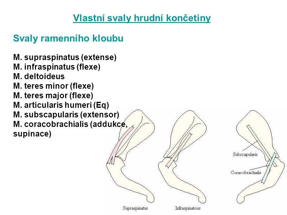 Bezúnavné stání - pasivní vazivově šlašitý aparát omezuje svalovou činnost - m.