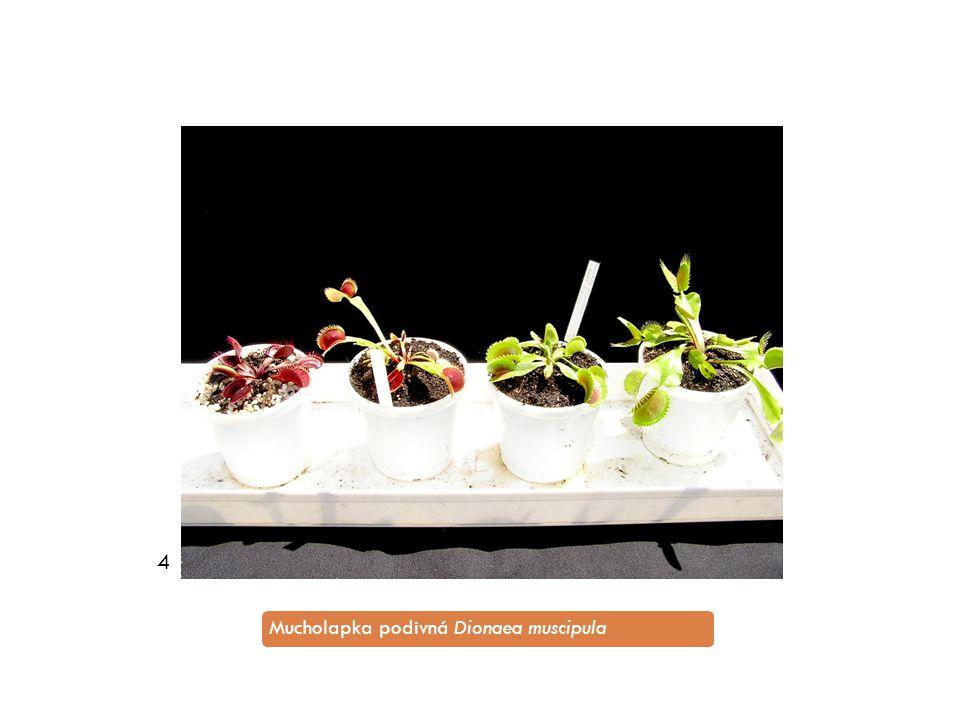 4 Mucholapka podivná Dionaea muscipula