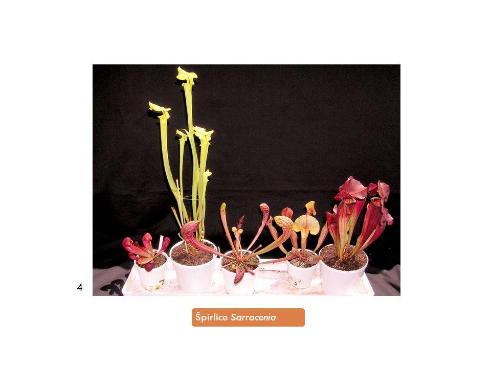 4 Špirlice Sarracenia