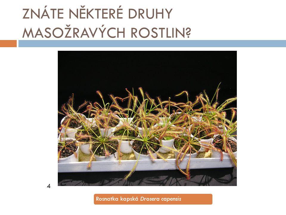 ZNÁTE NĚKTERÉ DRUHY MASOŽRAVÝCH ROSTLIN? 4 Rosnatka kapská Drosera capensis