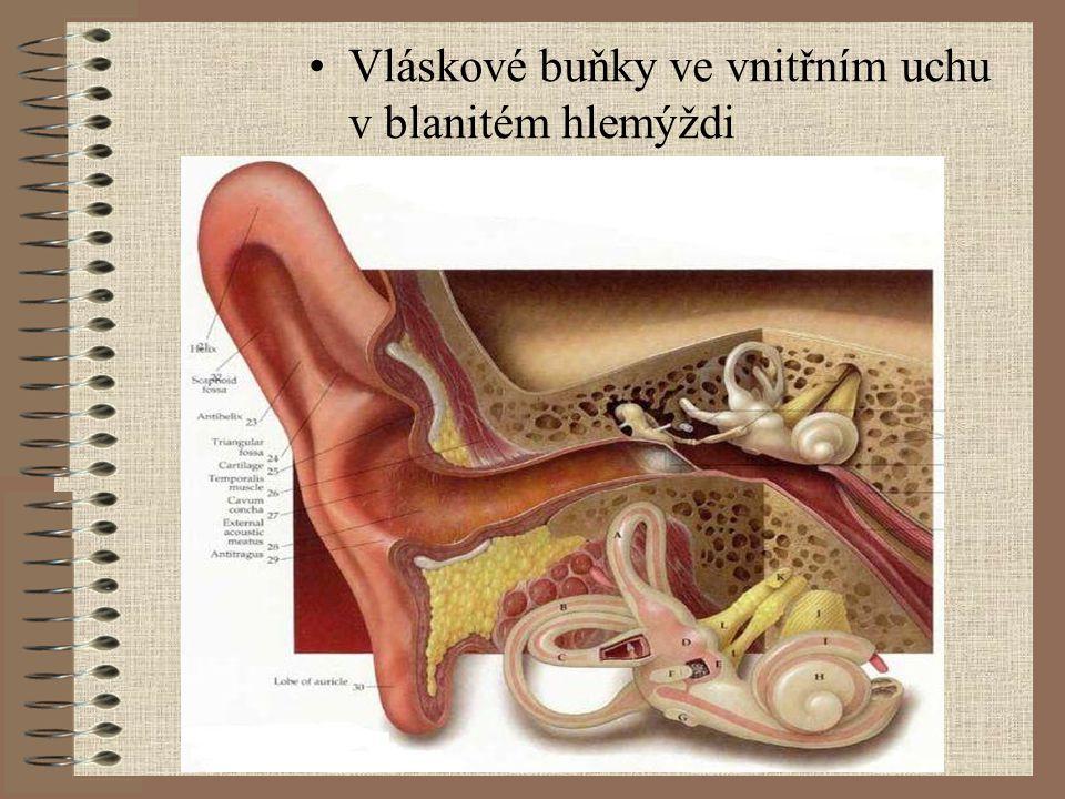 Vláskové buňky ve vnitřním uchu v blanitém hlemýždi