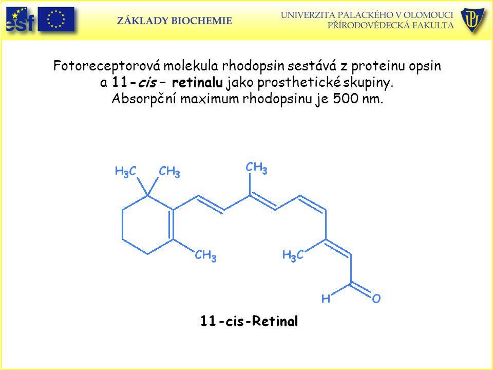 Fotoreceptorová molekula rhodopsin sestává z proteinu opsin a 11-cis – retinalu jako prosthetické skupiny. Absorpční maximum rhodopsinu je 500 nm.