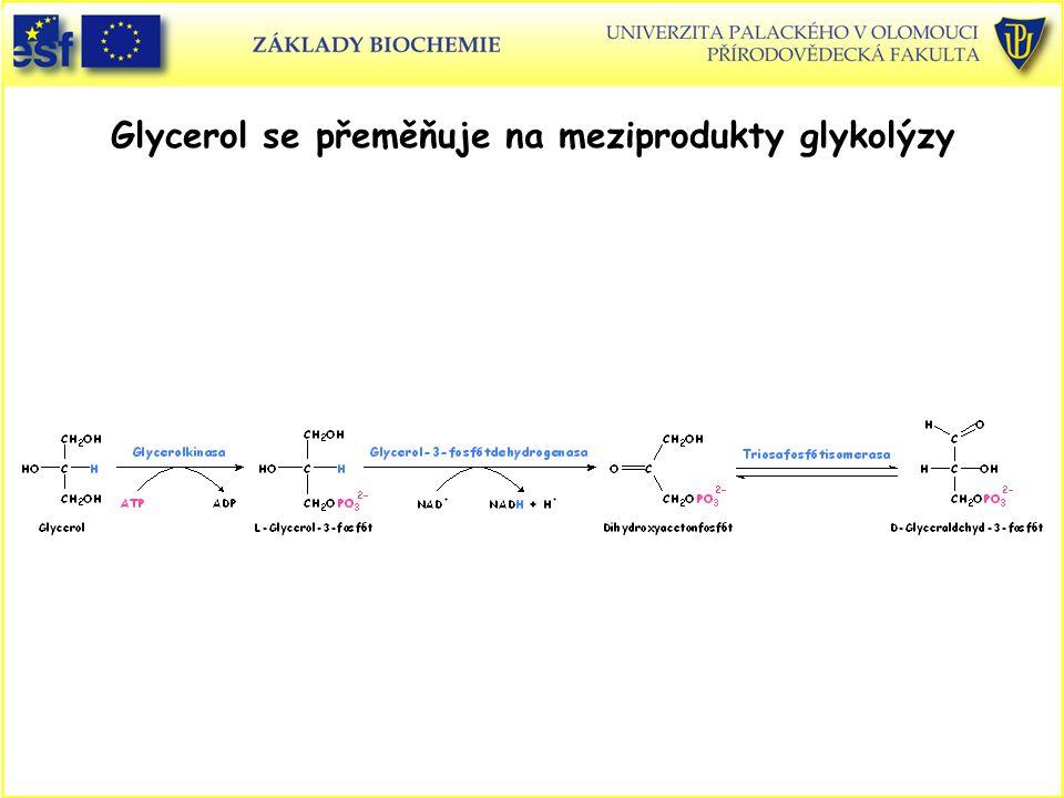 Glycerol se přeměňuje na meziprodukty glykolýzy