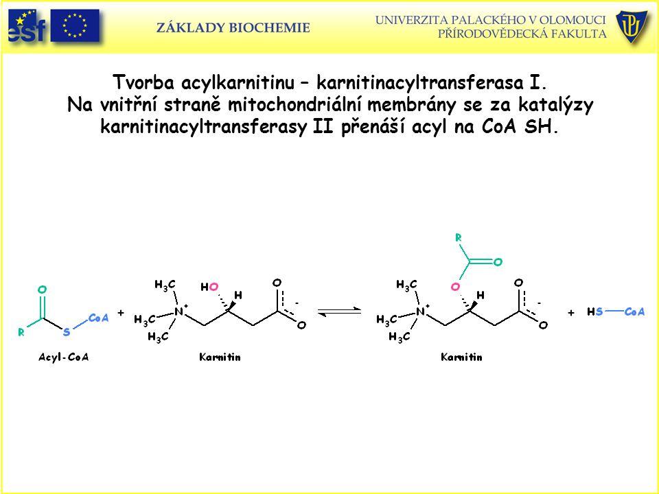 Tvorba acylkarnitinu – karnitinacyltransferasa I. Na vnitřní straně mitochondriální membrány se za katalýzy karnitinacyltransferasy II přenáší acyl na