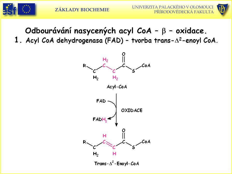 Odbourávání nasycených acyl CoA –  – oxidace. 1. Acyl CoA dehydrogenasa (FAD) – tvorba trans-  2 -enoyl CoA.