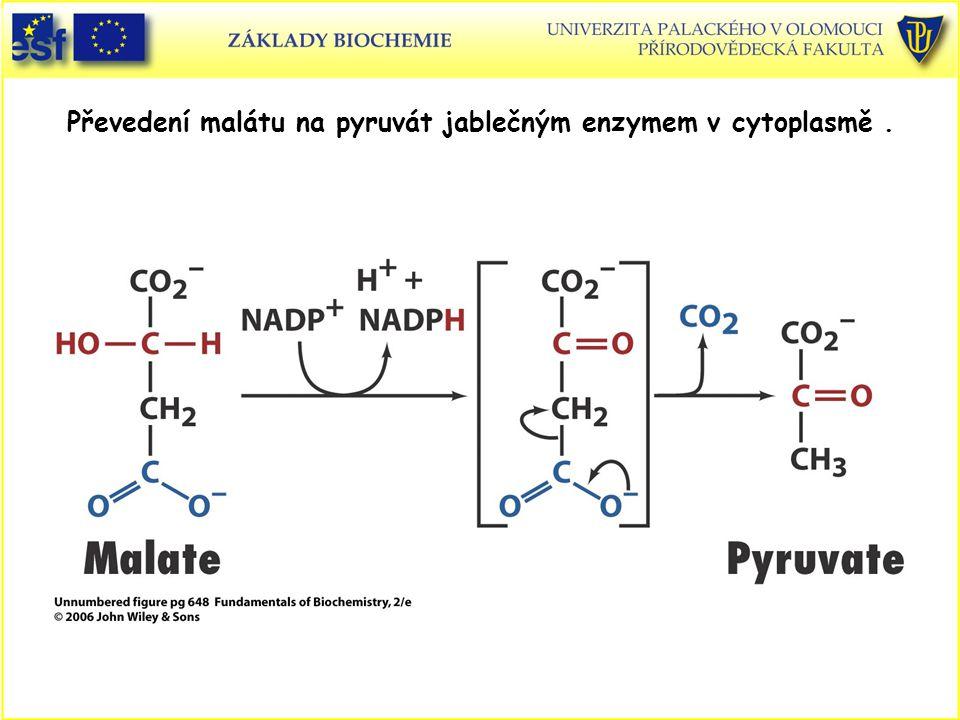 Převedení malátu na pyruvát jablečným enzymem v cytoplasmě.