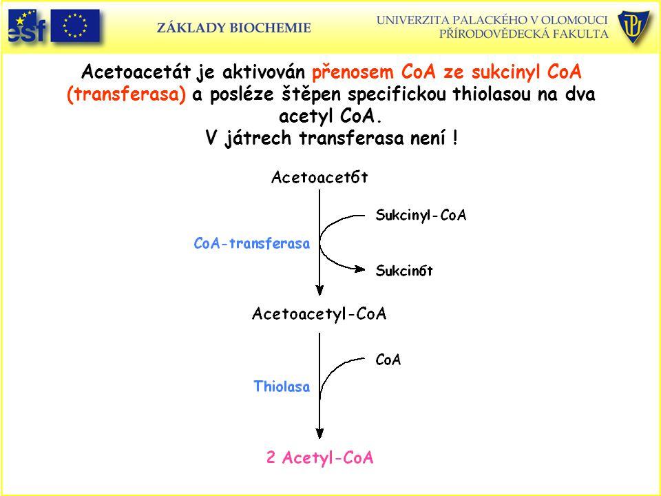 Acetoacetát je aktivován přenosem CoA ze sukcinyl CoA (transferasa) a posléze štěpen specifickou thiolasou na dva acetyl CoA. V játrech transferasa ne
