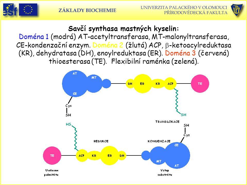 Savčí synthasa mastných kyselin: Doména 1 (modrá) AT-acetyltransferasa, MT-malonyltransferasa, CE-kondenzační enzym. Doména 2 (žlutá) ACP,  -ketoacyl