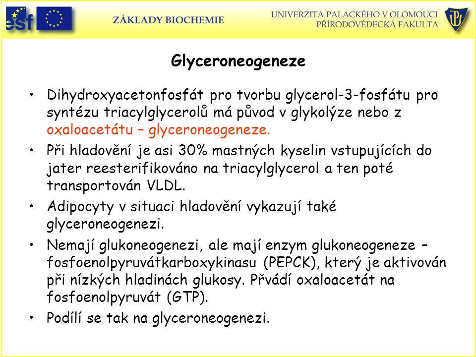 Glyceroneogeneze Dihydroxyacetonfosfát pro tvorbu glycerol-3-fosfátu pro syntézu triacylglycerolů má původ v glykolýze nebo z oxaloacetátu – glycerone