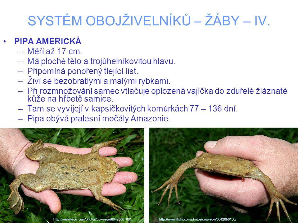 SYSTÉM OBOJŽIVELNÍKŮ – ŽÁBY – IV. PIPA AMERICKÁ –Měří až 17 cm.
