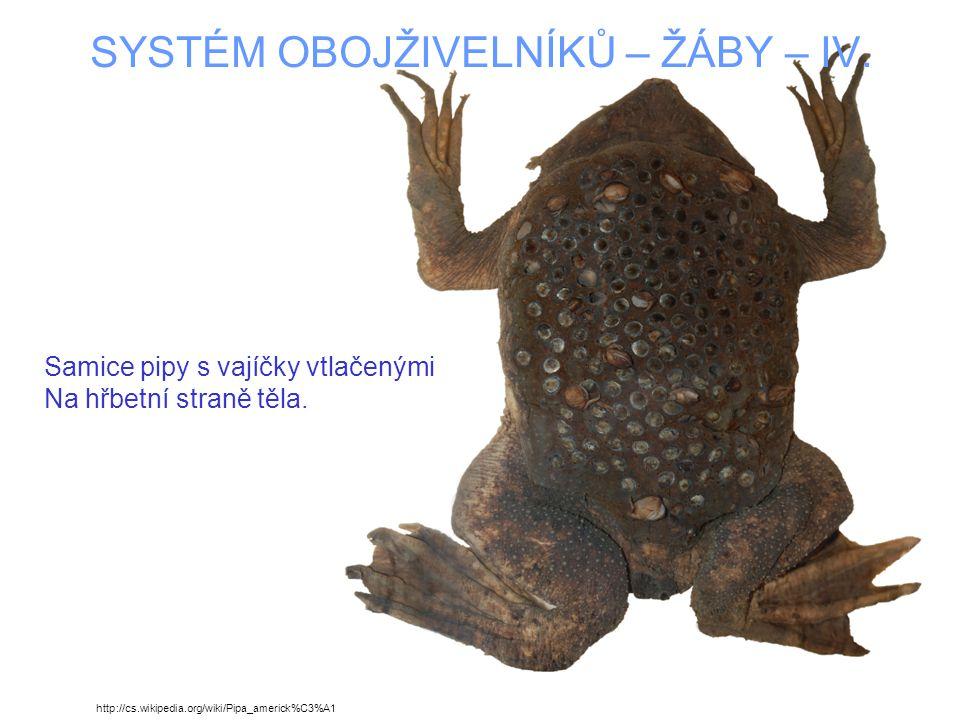 SYSTÉM OBOJŽIVELNÍKŮ – ŽÁBY – IV.Mladé žabky opouštějící komůrky na hřbetě samice pipy.
