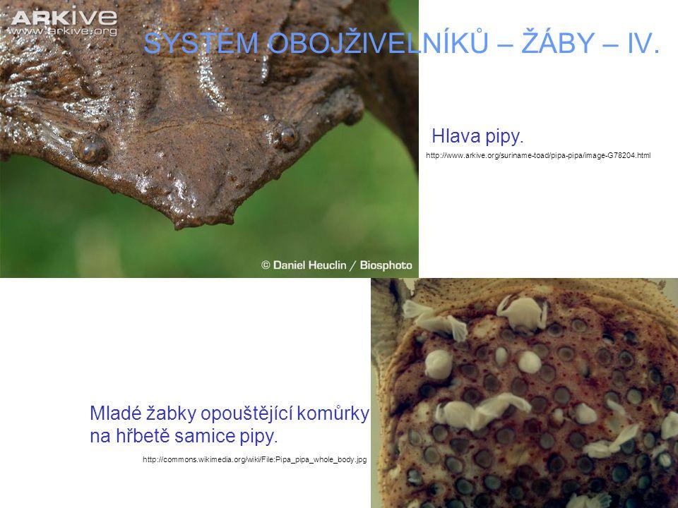 SYSTÉM OBOJŽIVELNÍKŮ – ŽÁBY – IV. Mladé žabky opouštějící komůrky na hřbetě samice pipy.
