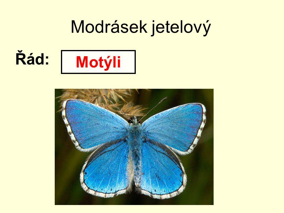 Modrásek jetelový Řád: Motýli