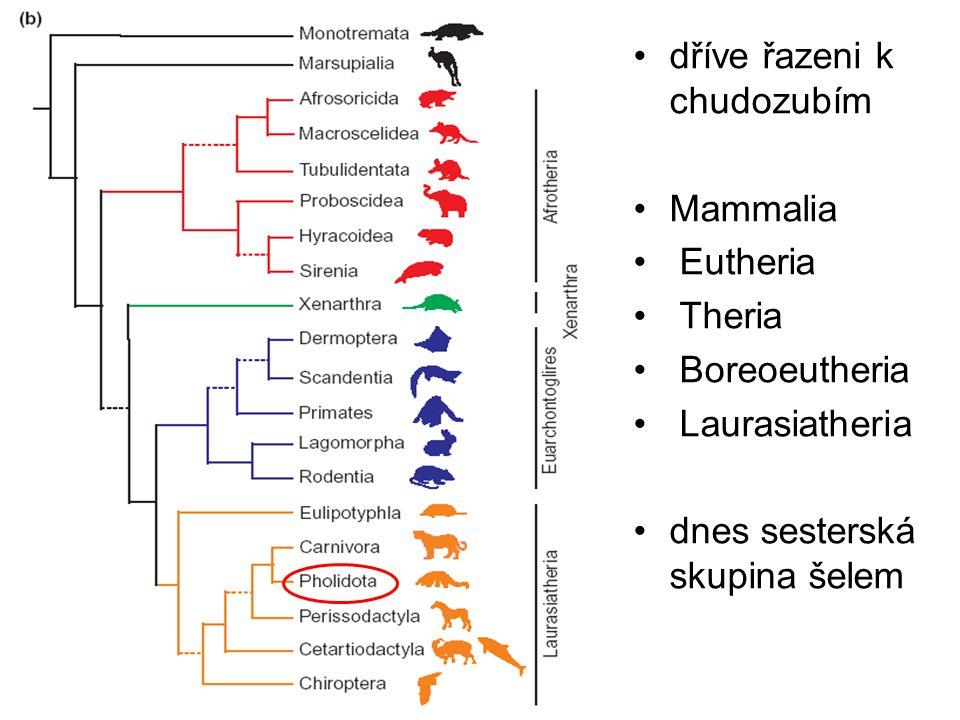 dříve řazeni k chudozubím Mammalia Eutheria Theria Boreoeutheria Laurasiatheria dnes sesterská skupina šelem